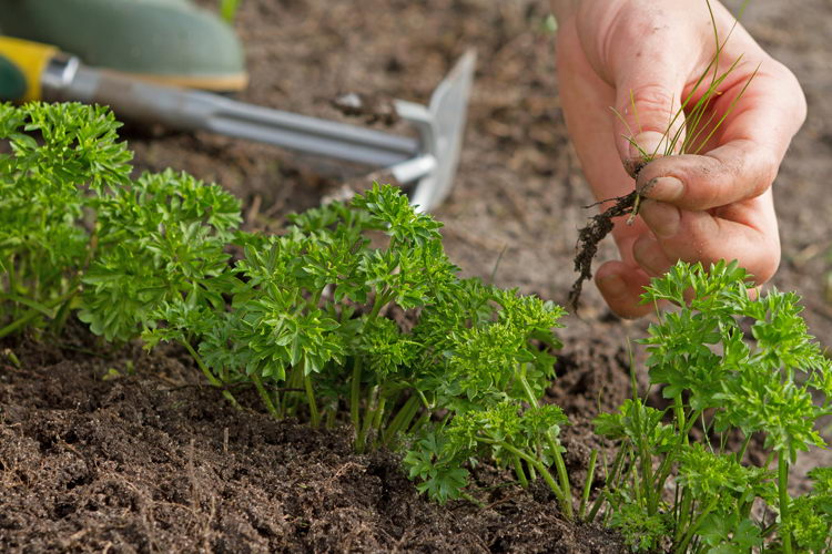 Петрушка выращивание из семян в открытом грунте фото