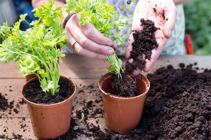 Петрушку можно пересадить с грядки и выращивать на подоконнике