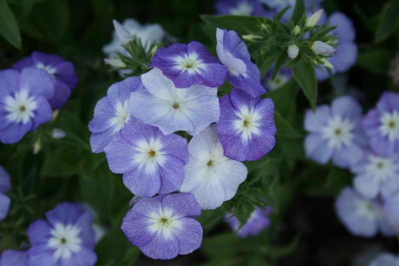Phlox drummondii, 'Beauty' Series, 'Lavender Beauty'