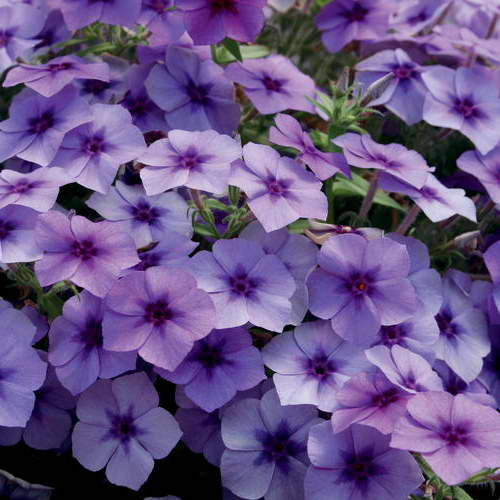 Phlox drummondii Blueberry