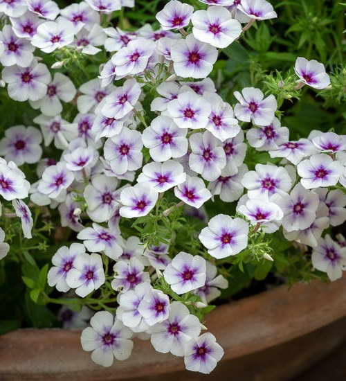 Phlox drummondii 'Dolly Sky Blue'