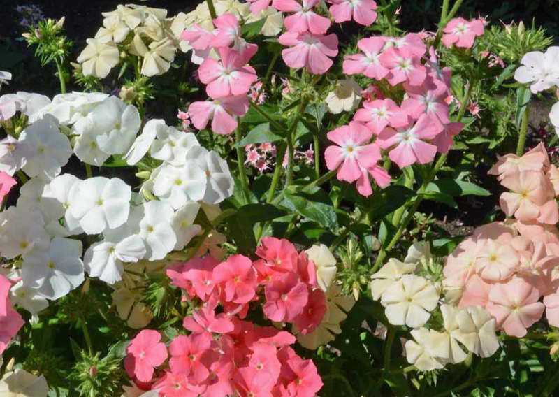 Phlox drummondii Pastel Shades Mix