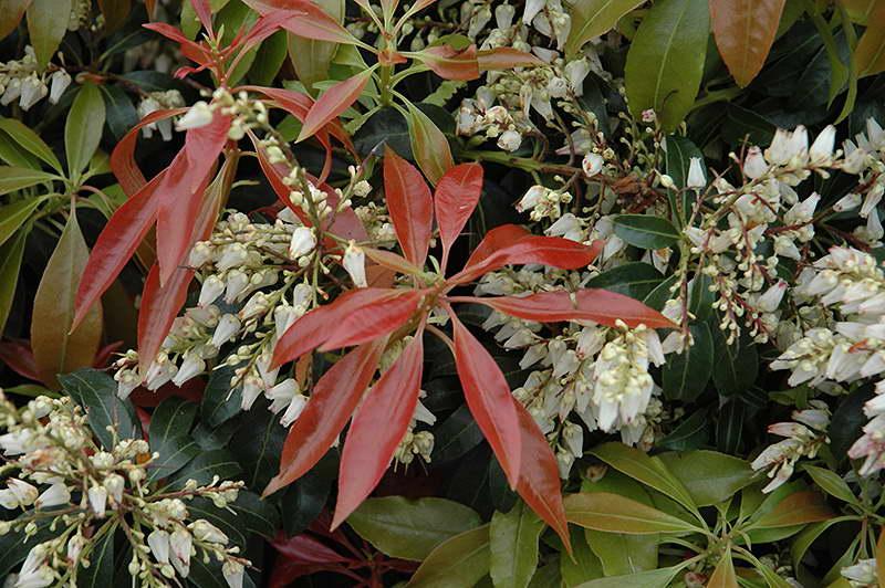 Пиерис японский Скарлет Охара Pieris japonica Scarlet O'Hara фото