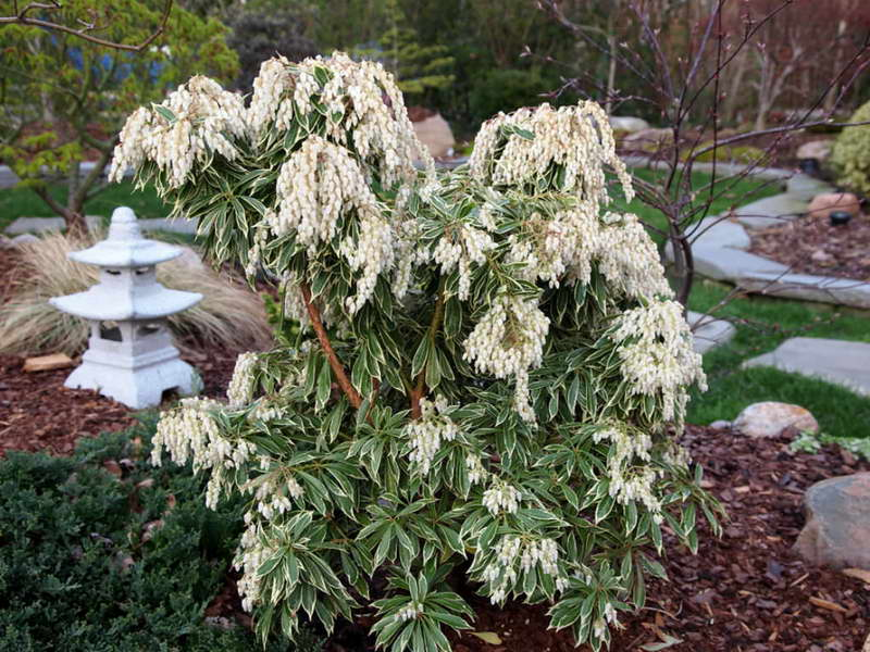 Пиерис японский вариегата Pieris japonica 'Variegata' фото в саду