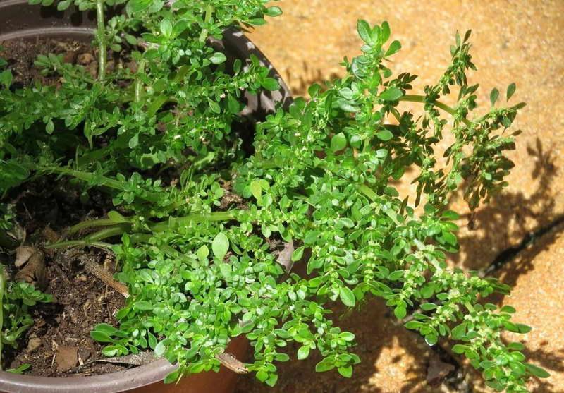 Пилея мелколистная Рilea microphylla фото