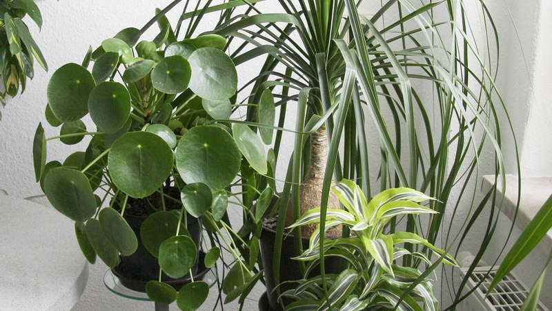 Пилея пеперомиелистная с другими цветами в квартире фото