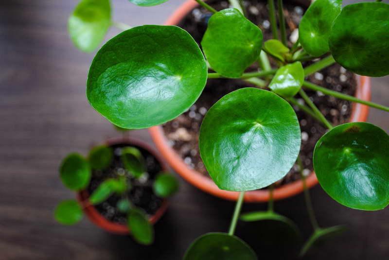 Пилея пеперомиевидная Рilea peperomioides фото