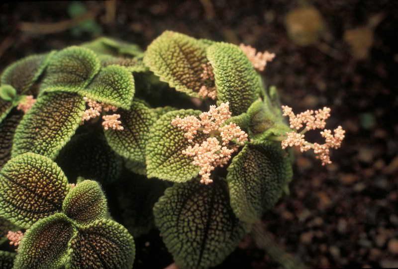 Пилея толстолистная Рilea crassifolia фото