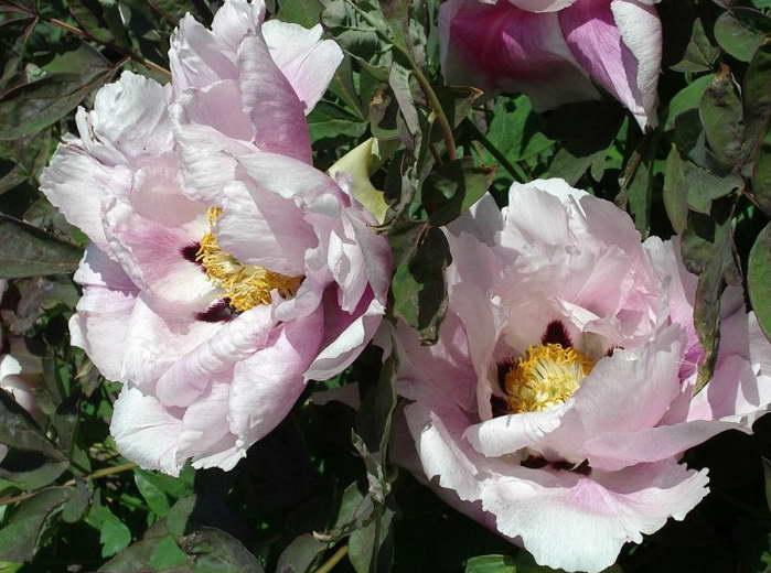 Пион древовидный Гофман Paeonia suffruticosa Hofman фото
