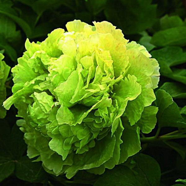 Пион древовидный Грин Джейд Paeonia suffruticosa Green Jade