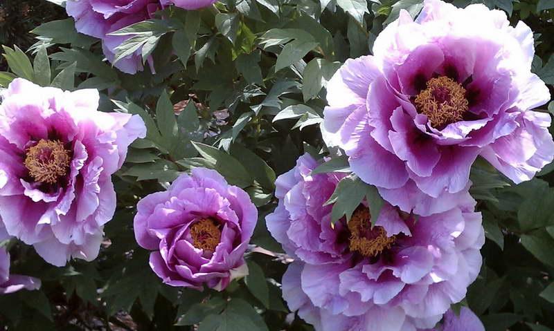 Пион древовидный сорт Lavender фото
