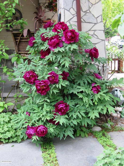 Пион древовидный в дизайне сада на фото сорт Paeonia x suffruticosa 'Shimadaijin'