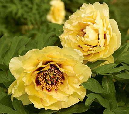Пион древовидный желтый сорт Paeonia suffruticosa High Noon фото
