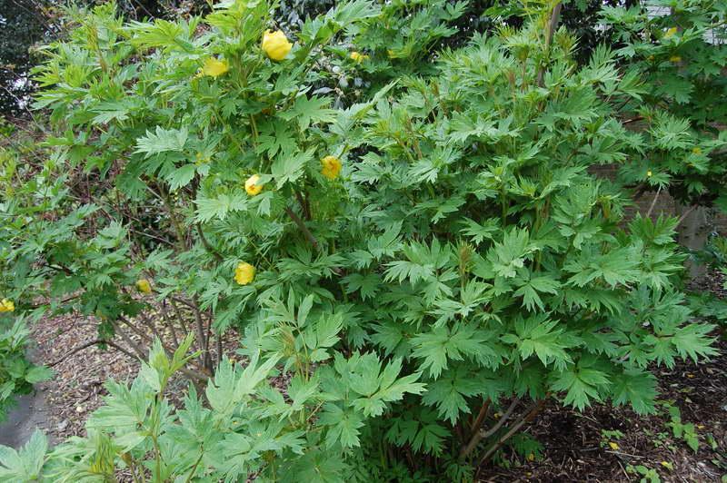 Пион желтый Paeonia lutea фото цветов в саду