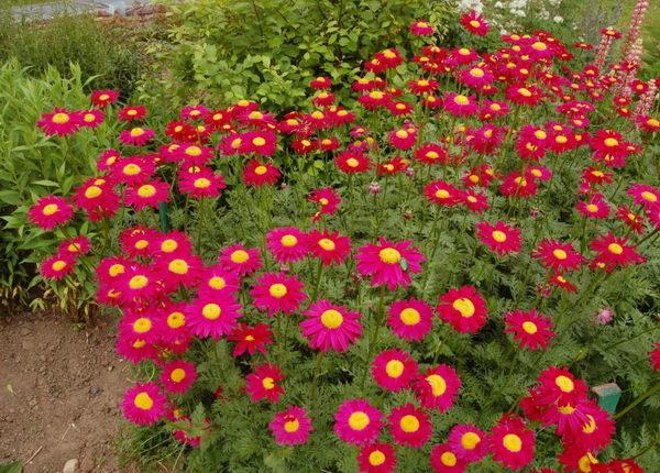 Пиретрум красный гиганты робинсона выращивание из семян посадка и уход фото