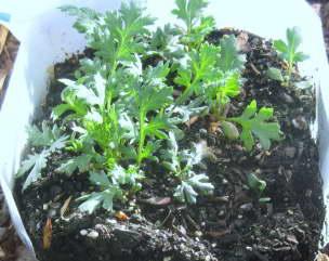 Пиретрум выращивание из семян фото рассады