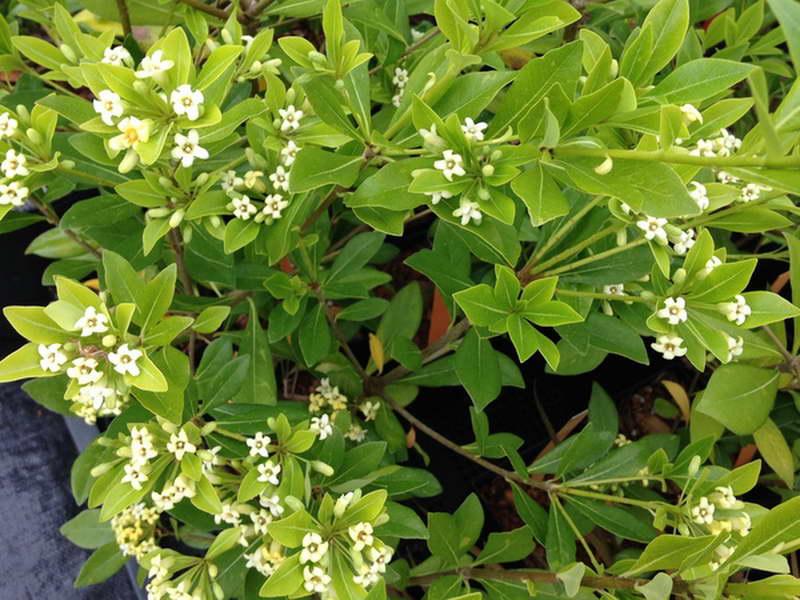 Питтоспорум гетерофиллум или голосеменниккитайскийPittosporum heterophyllum фото