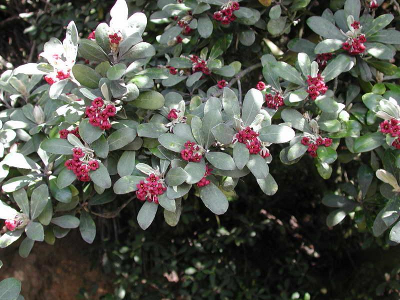 Питтоспорум или смолосемянник толстолистныйPittosporum crassifolium фото