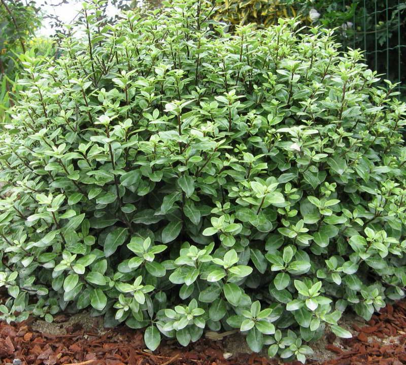 Питтоспорум тонколистный Pittosporum tenuifolium фото