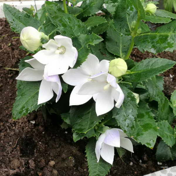 Платикодон Астра Вайт Platycodon grandiflorus Astra White фото