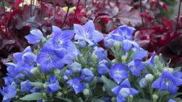 Платикодон крупноцветковый выращивание из семян Посадка и уход в открытом грунте