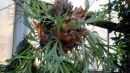 Платицериум уход в домашних условиях Папоротник олений рог фото