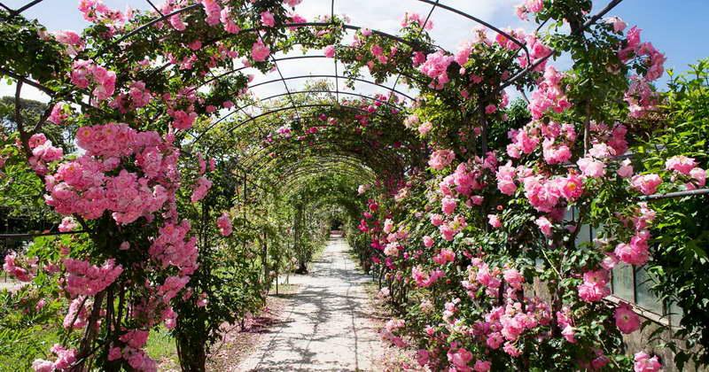 Плетистые розы на даче фото