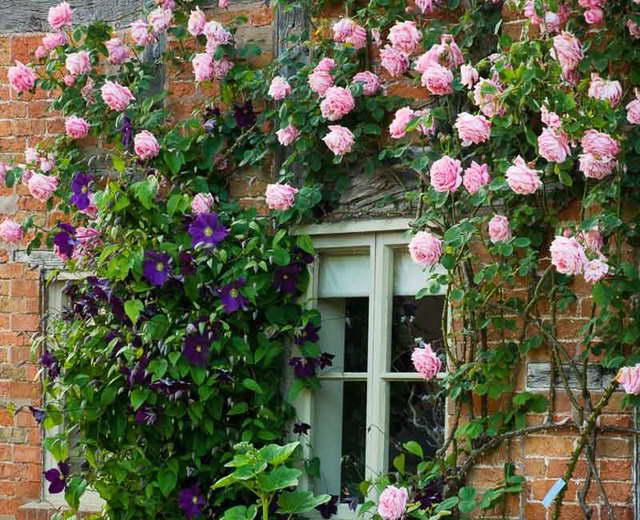 Плетистые розы на фасаде зданий фото