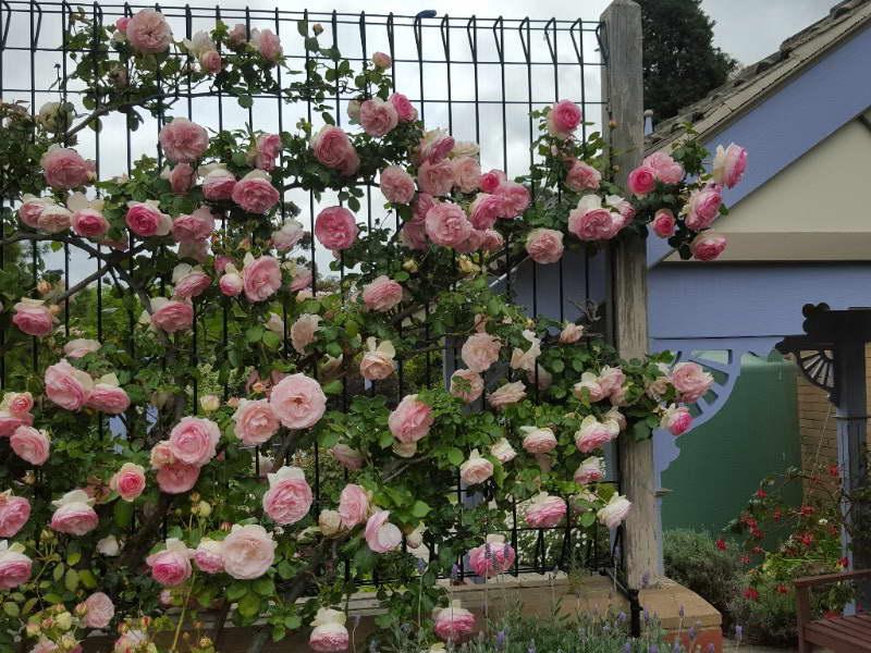 Плетистые розы на заборе фото