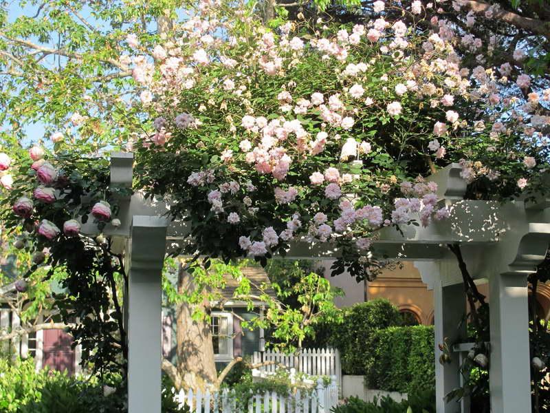 Плетистые розы в дизайне двора фото