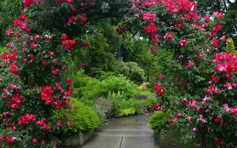 Плетистые розы в дизайне парка фото