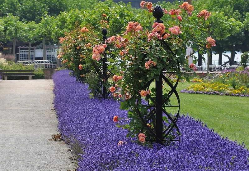 Плетистые розы в парке фото