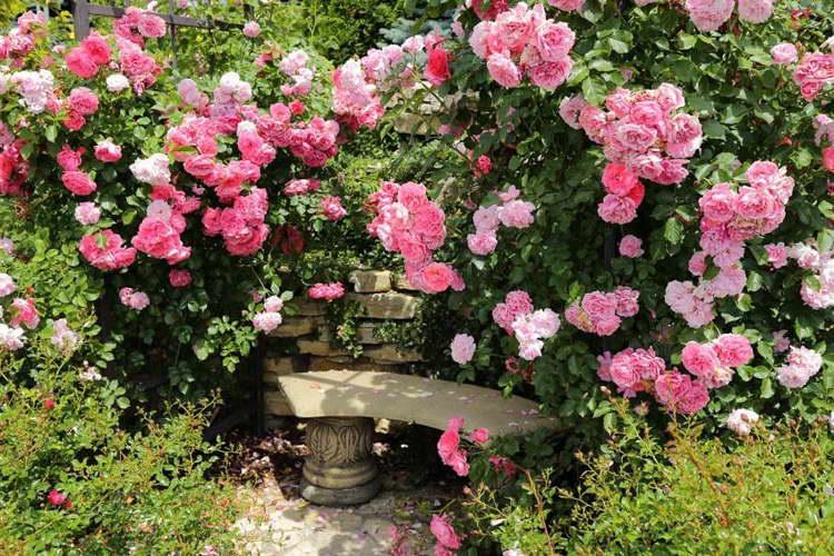 Плетистые розы в зоне отдыха фото