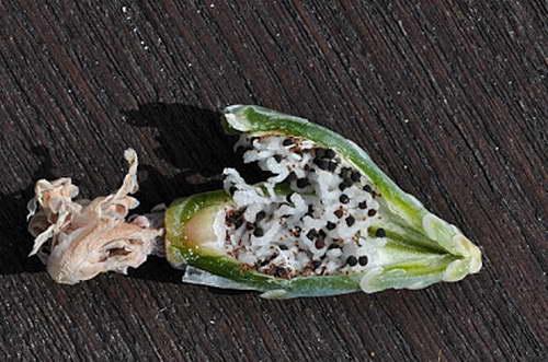 Плод гимнокалициума с семенами фото