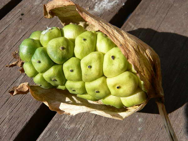 Плод каладиума с семенами фото