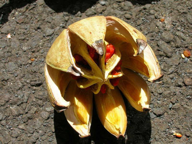 Плод клузии фото