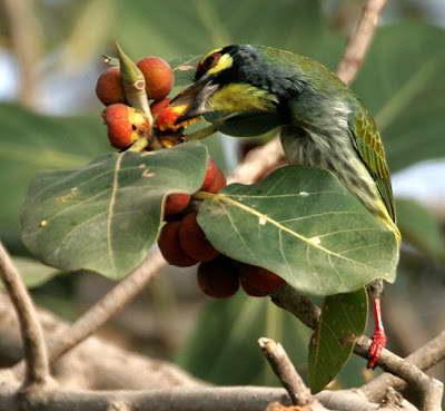 Плоды фикуса бенгальского фото