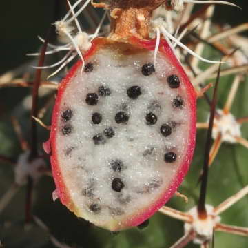 Плоды и семена эхиноцереуса фото