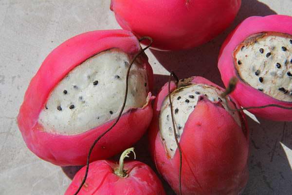 Плоды и семена цереуса перуанского фото