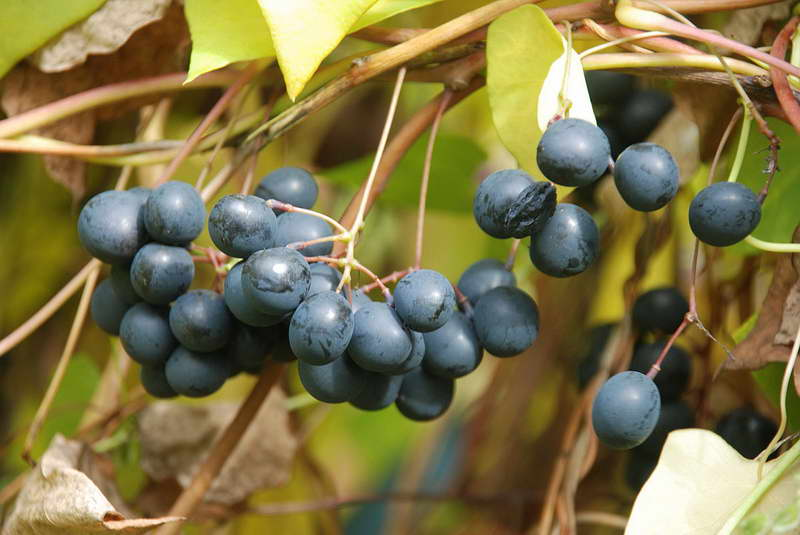 Плоды луносемянника фото