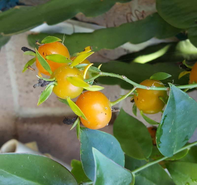 Плоды перескии шиповатой фото