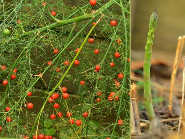 Плоды растения аспарагус ядовиты