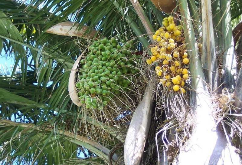 Плоды слоновой пальмы юбеи чилийской фото