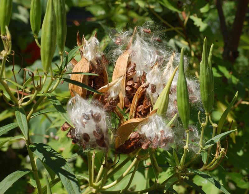Семена ваточника асклепиаса на фото
