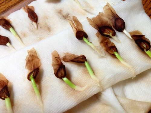 Плюмерия выращивание из семян в домашних условиях фото