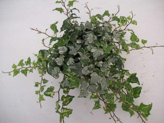 Плющ обыкновенный сорт Hedera helix 'Ivy Mint Kolibri' фото