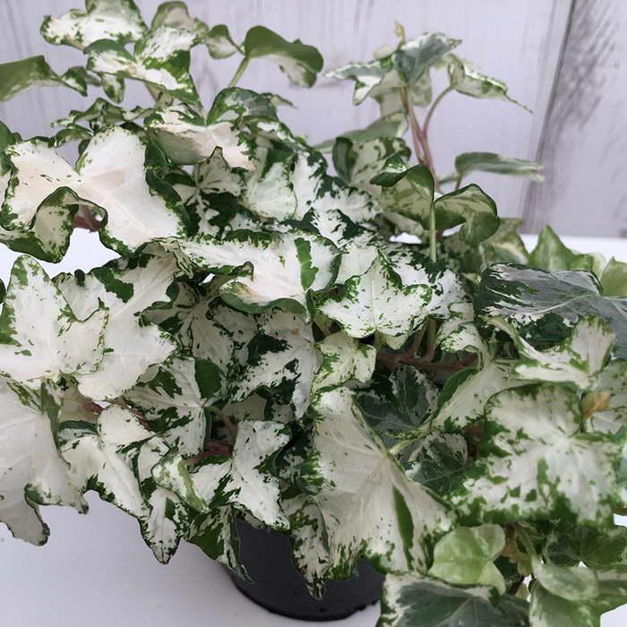Плющ обыкновенный сорт Hedera helix 'White Wonder' фото