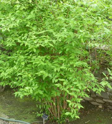 Почему чубушник садовый жасмин не цветет что делать