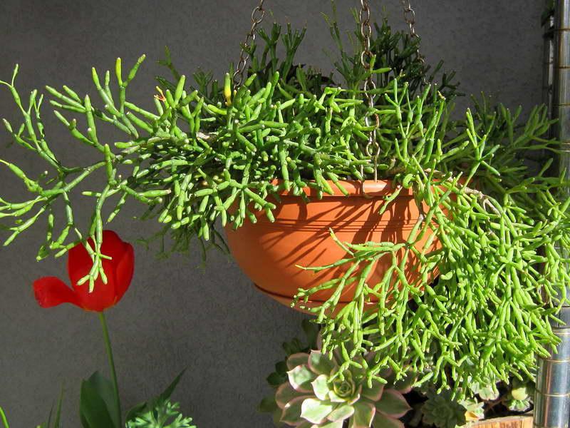 Почему хатиора не цветет Кактус танцующие кости уход