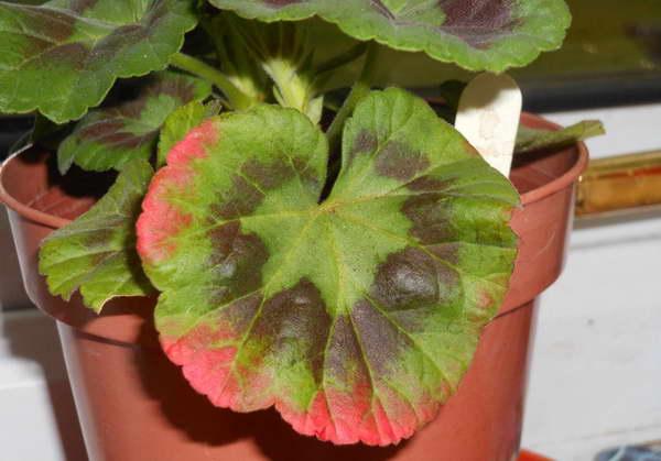 Почему листья на герани стали красными фото